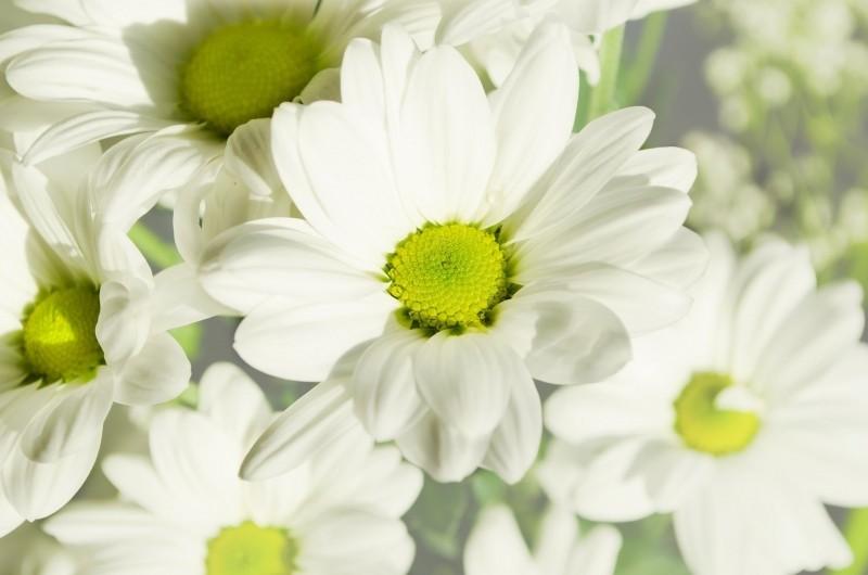 white-flowers-in-meadow-in-sun
